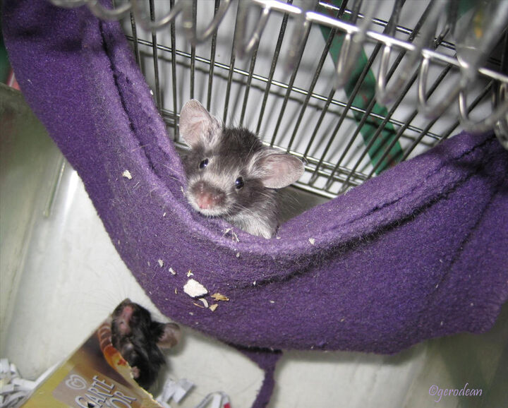 although i don  t wash the hammocks  when used they go in bin   this is possible when i buy cheep fleece blanket to cut the hammocks from   hammocks for mice   enrichment   mouse   savvity  work  rh   mouse savvity
